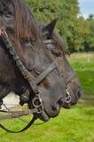 Cavalli da tiro Fotografia Stock