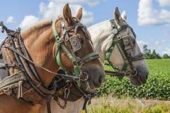 Cavalli da tiro Immagine Stock Libera da Diritti