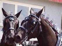 Cavalli da tiro Fotografia Stock Libera da Diritti