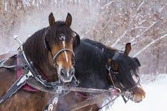 Cavalli da tiro Fotografie Stock Libere da Diritti