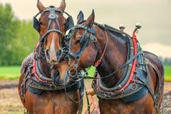 Cavalli da tiro che indossano il loro giogo e cablaggio del lavoro Immagini Stock