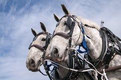 Cavalli da tiro, gruppo Fotografia Stock
