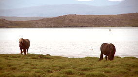Cavalli da un lago stock footage