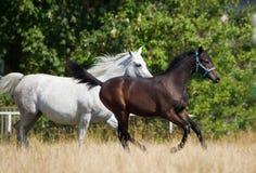 Cavalli degli Arabi di galoppo Fotografia Stock