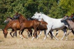 Cavalli degli Arabi di galoppo Fotografia Stock Libera da Diritti