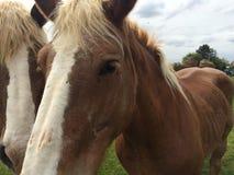 Cavalli del Belgio Immagini Stock