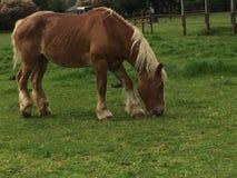 Cavalli del Belgio Immagini Stock Libere da Diritti