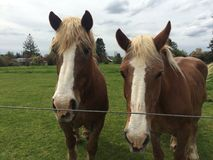 Cavalli del Belgio Immagine Stock Libera da Diritti