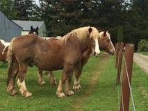 Cavalli del Belgio Immagine Stock