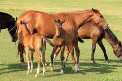 Cavalli del Brown sul pascolo verde Fotografia Stock