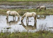 Cavalli del Camargue Immagine Stock