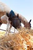 Cavalli del fieno. Fotografia Stock Libera da Diritti