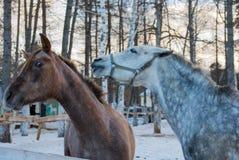 Cavalli del gioco due Immagini Stock