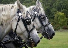 Cavalli del lavoro Immagini Stock Libere da Diritti