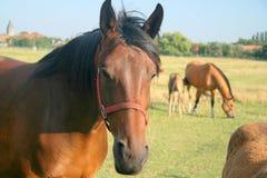 Cavalli del prato Fotografia Stock Libera da Diritti