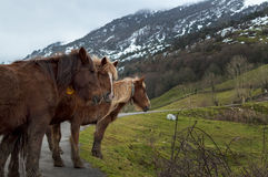 Cavalli dell'alta montagna Fotografia Stock