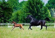 Cavalli dell'Arabo di galoppo Immagini Stock Libere da Diritti