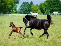 Cavalli dell'Arabo di galoppo Fotografie Stock Libere da Diritti