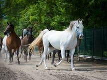 Cavalli dell'Arabo di galoppo Fotografia Stock Libera da Diritti