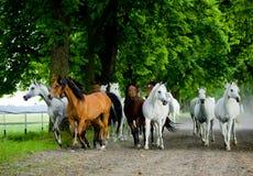 Cavalli dell'Arabo di galoppo Immagini Stock