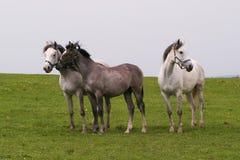 Cavalli dell'Arabo di Shagya Immagine Stock Libera da Diritti