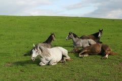 Cavalli dell'Arabo di Shagya Immagini Stock