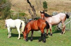 Cavalli dell'azienda agricola che pascono nel campo Immagini Stock