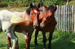 Cavalli dell'azienda agricola che pascono nel campo Immagine Stock