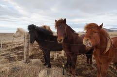 Cavalli dell'Islanda Fotografia Stock Libera da Diritti