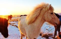 Cavalli dell'Islanda Immagini Stock Libere da Diritti