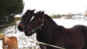 Cavalli dell'Islanda con il loro amico, un cavallino di Shetland fotografia stock