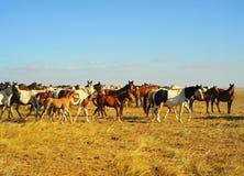 Cavalli della Crimea immagini stock libere da diritti
