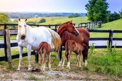Cavalli della madre con i puledri maschi Fotografia Stock Libera da Diritti