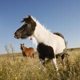 Cavalli della miniatura di Falabella Immagine Stock