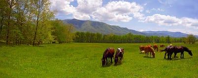 Cavalli della montagna Immagine Stock