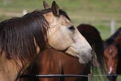 Cavalli della montagna dello Snowy Fotografie Stock