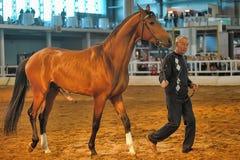 Cavalli della razza di mostra Fotografie Stock Libere da Diritti