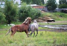 Cavalli di adulazione. Fotografie Stock
