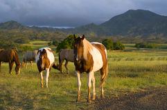 Cavalli di Appaloosa fotografia stock libera da diritti