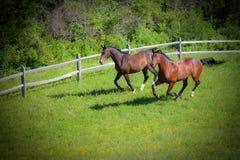 Cavalli di baia che cantering giù la collina Fotografia Stock Libera da Diritti