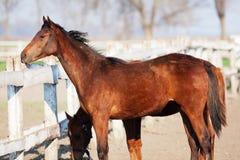 Cavalli di Brown al ranch Fotografie Stock
