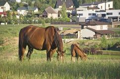 Cavalli di Brown che mangiano erba Fotografia Stock Libera da Diritti