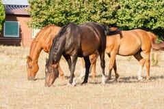 Cavalli di Brown che mangiano erba in un prato Giovani e bei cavallini sull'azienda agricola fotografia stock