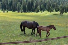 Cavalli di Brown che pascolano nelle terre di pascolo: Alpi italiane delle dolomia Fotografia Stock