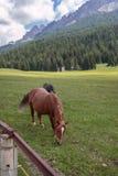 Cavalli di Brown che pascolano nelle terre di pascolo: Alpi italiane delle dolomia Fotografie Stock Libere da Diritti