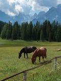 Cavalli di Brown che pascolano nelle terre di pascolo: Alpi italiane delle dolomia Fotografie Stock