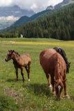Cavalli di Brown che pascolano nelle terre di pascolo: Alpi italiane delle dolomia Immagine Stock Libera da Diritti