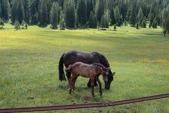 Cavalli di Brown che pascolano nelle terre di pascolo: Alpi italiane delle dolomia Fotografia Stock Libera da Diritti