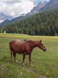 Cavalli di Brown che pascolano nelle terre di pascolo: Alpi italiane delle dolomia Immagini Stock Libere da Diritti