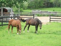 Cavalli di Brown che pascono in un pascolo recintato Fotografia Stock Libera da Diritti